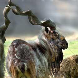 Обзор и описание основных видов горных козлов