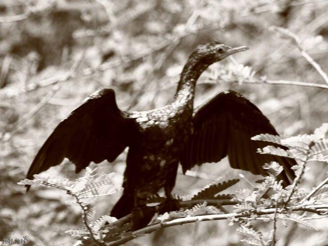 На очковых бакланов постоянно охотились. В конце концов это привело к абсолютному исчезновению вида.