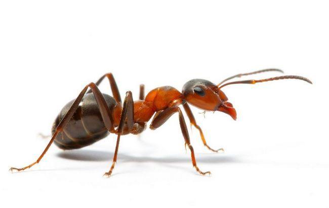 Vatrenih mrava (lat. Požar mrav)