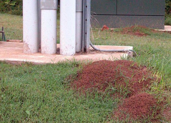 Blizina ovog mravinjak opasno.
