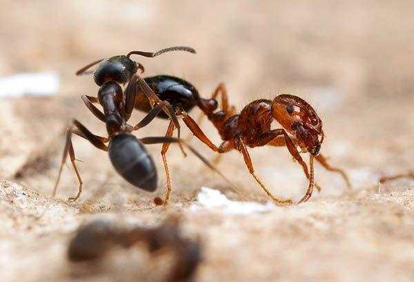 fire ant (Solenopsis Invicta)