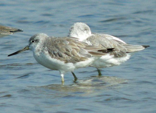 Гнездятся птицы на окраинах прибрежных лиственничных лесов вблизи болот, озер и рек.
