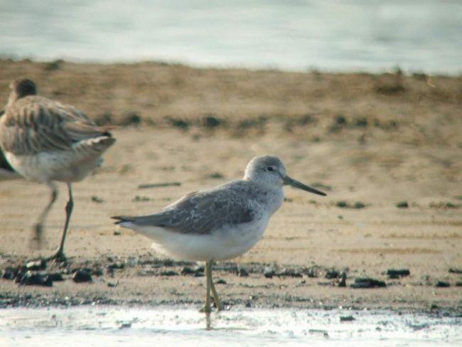 Миграция взрослыхулитов начинается после окончания гнездования — в июле или августе.