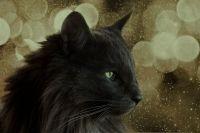 норвежская лесная кошка черная