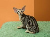 orijentalna mačka boje fotografija