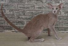ориентальная кошка мраморный окрас