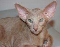 ориентальная кошка эбони