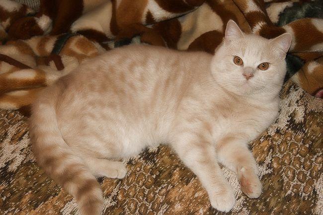 Окрасы шотландских прямоухих кошек скоттиш страйт