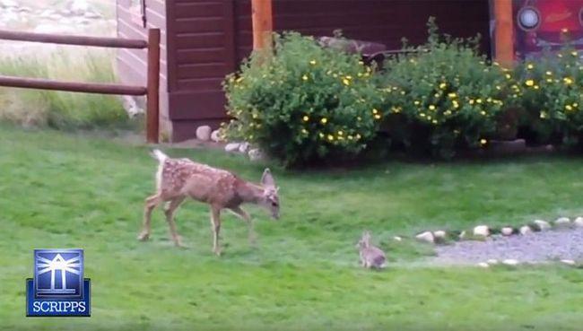 Budućnost jelena zavise od majke njegu, koju je dobio u ranom djetinjstvu.