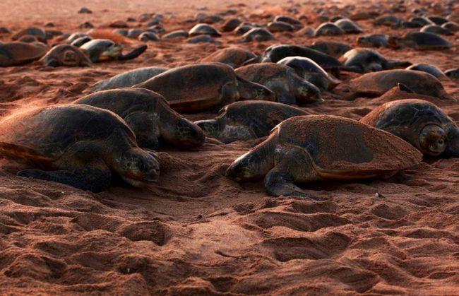 Maslinovo kornjače imaju tendenciju da plivaju daleko od obale kada je predator.