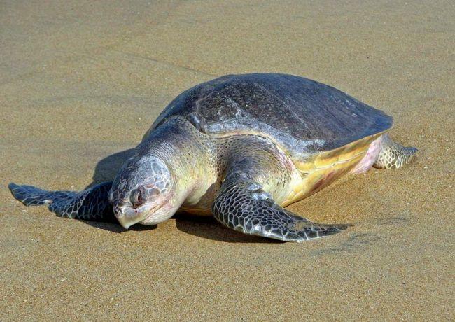 Maslinovo kornjače ponekad pokušavaju progutati nejestive objekte kao što su odbacili đubre ljudi.