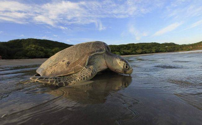 Olive Ridley morskih kornjača - stanovnik Tihog i Indijskog oceana.