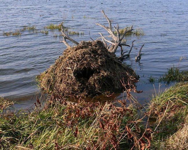 Надводное жилище ондатры.