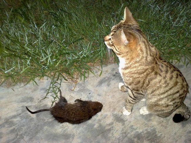 Сегодня ондатра стала добычей кошки, а завтра ее собрат станет обедом какого-нибудь другого хищника.