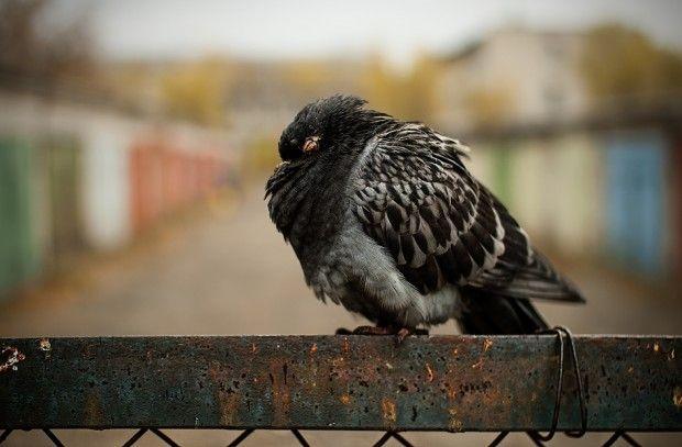Опаснейшая болезнь голубей и ее симптомы — орнитоз