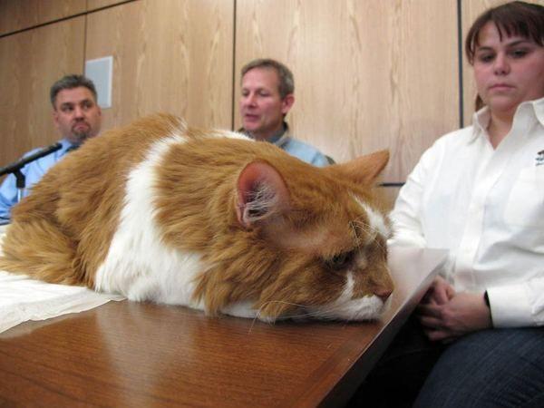 Mačka operacija koštati svojih vlasnika na 20 hiljada dolara