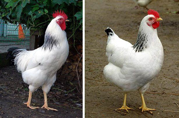 Петух и курица адлерской серебристой - экстерьер