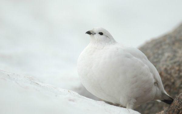 Biele perie Ptarmigan nej skrýva v snehu