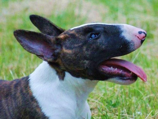Bull Terriers su među najagresivniji psi.