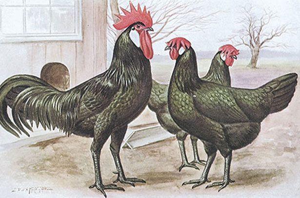Внешность кур и петуха породы Минорка