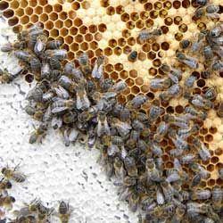 Описание и характеристики среднерусской породы пчел, отзывы пчеловодов