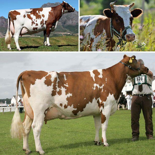 Ayrshire rase krava