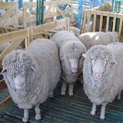 Kuibyshev plemeno oviec