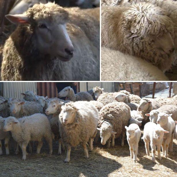 Ovce a jahňatá Kuibyshev plemeno