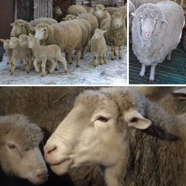 Kuibyshev ovce