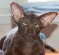 orijentalna mačka recenzije