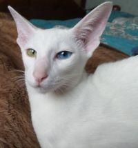 Oriental mačka pasmina