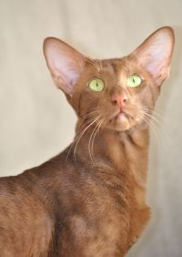Oriental cat opis rase