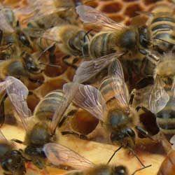 Описание пчел породы бакфаст, их характеристики, достоинства и недостатки