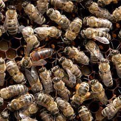 Описание серой горной кавказской породы пчел, отзывы пчеловодов