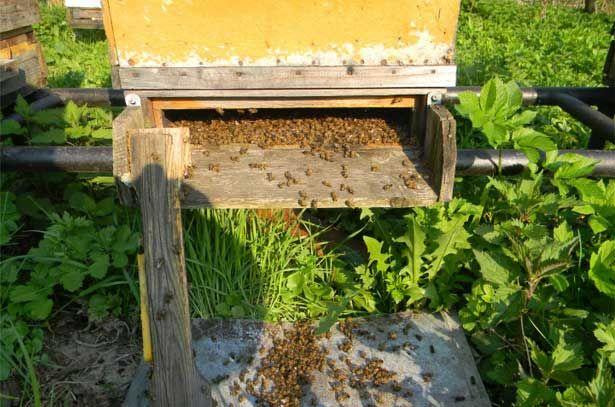 Mŕtve včely z vírusovej ochrnutie