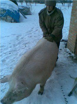 свиноматка на прогулке за месяц до опороса