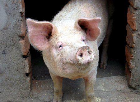 Опорос у белых свиней