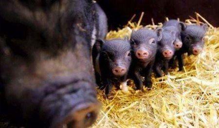 Опорос вьетнамских свиней