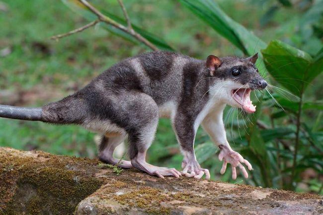 Chiloessky Oposum je preteći izgled.
