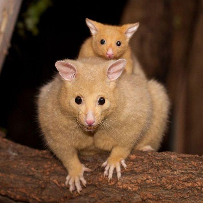 Australian oposum Kuzu i njen tele.