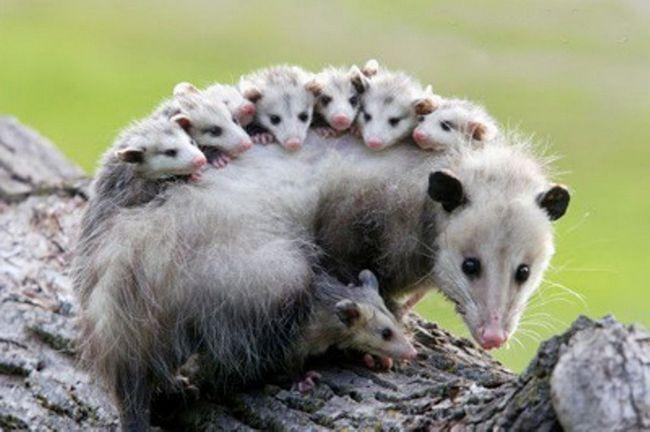Nose veliki broj mladih na leđima - što je karakteristična oposuma.