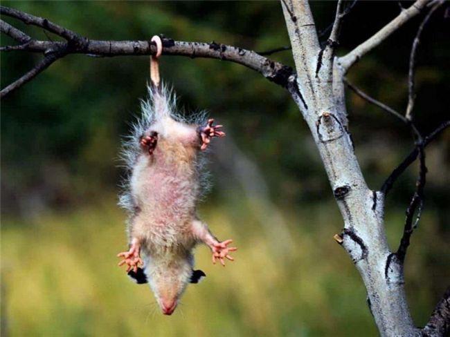 Opossums (lat. Didelphidae)