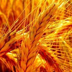 Система мер защиты пшеницы от болезней