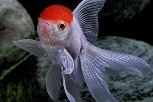 Оранда — рыбка красная шапочка