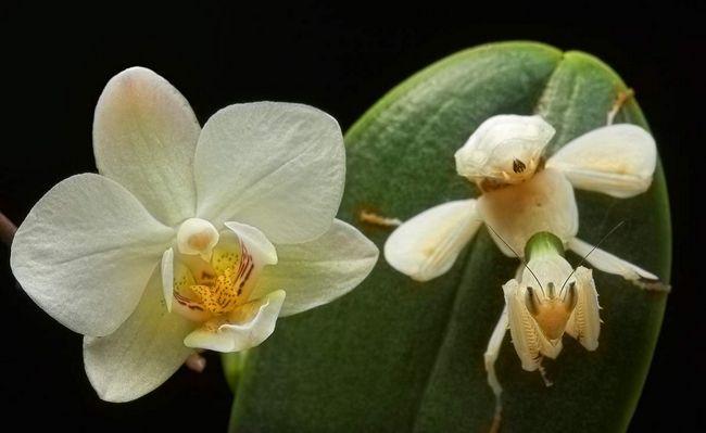 Орхидейный богомол и орхидея: найдите хоть одно отличие!
