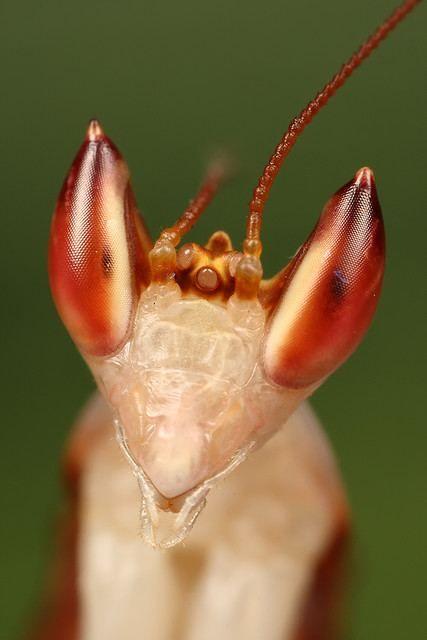 Hymenopus coronatus (Hymenopus coronatus)