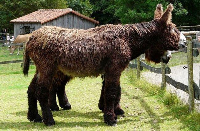 Poitou osel (Baudet de Poitou), nebo mamut osel