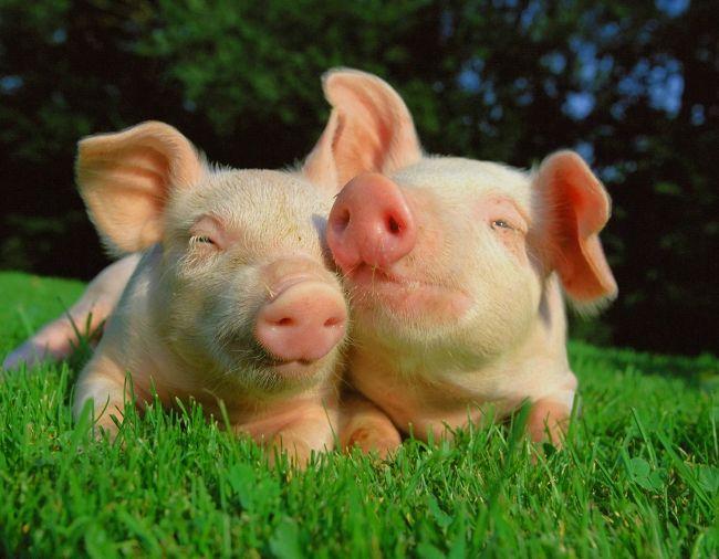 Осеменение свиней
