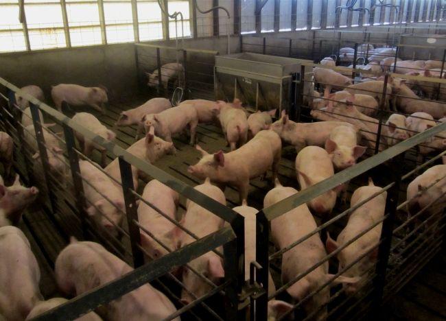 Охота у свиней: признаки охоты