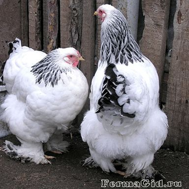Principalele caracteristici ale găinilor din rasa Brama, subspecii lor